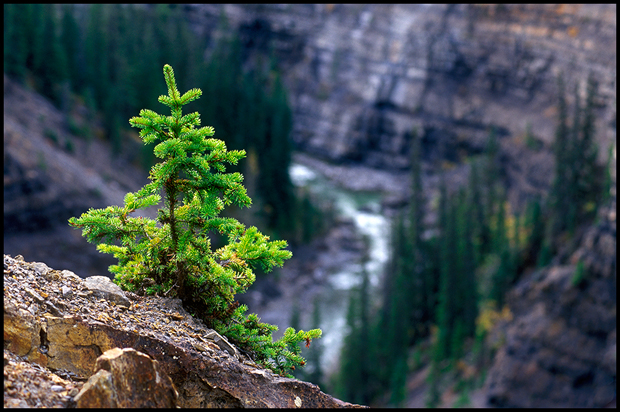 Lone young spruce tree clings to the edge of the canyon walls, living on the edge, young lush green tree on a rocky ledge, David Thompson country, Alberta, Canada