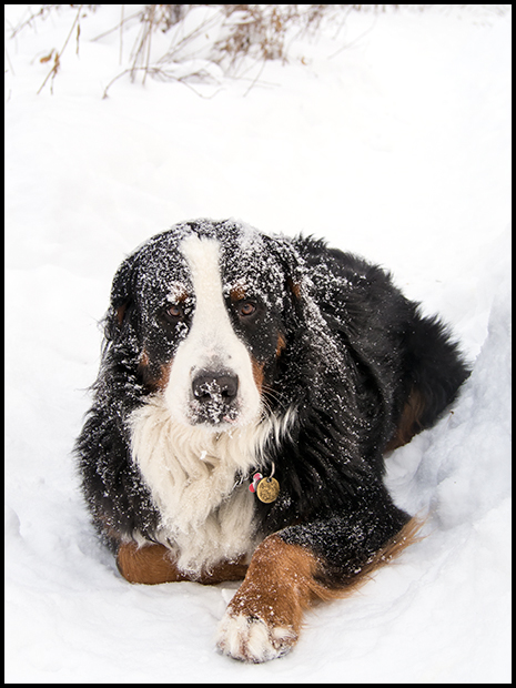 Fresh snow on a Bernese