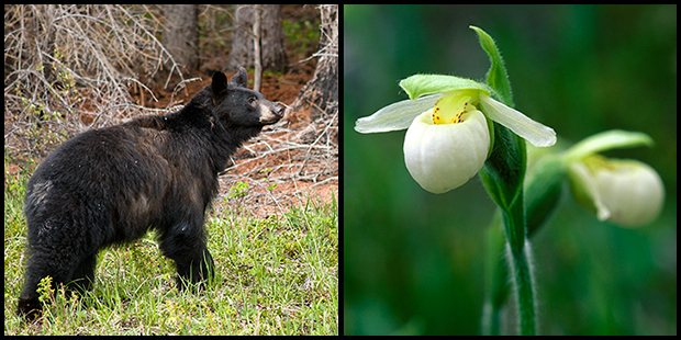 Bear and Orchid