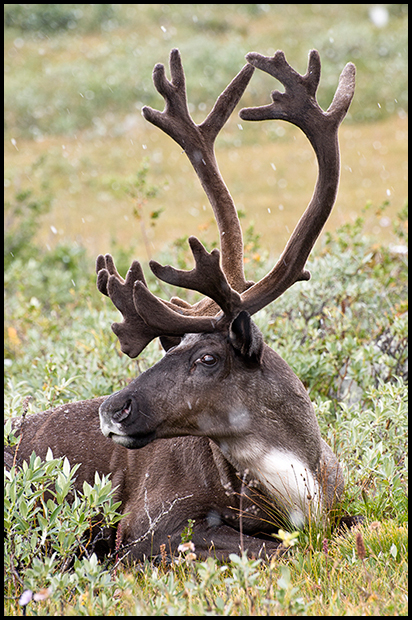 Mountain Caribou Bull