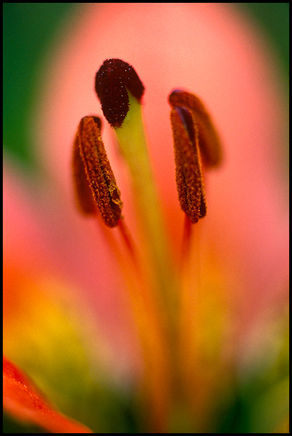 Anthers and Stigma on a Western Wood Lily