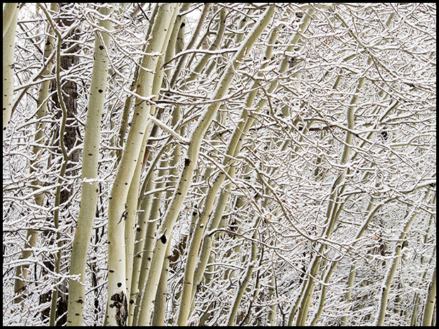 Tree branches lined with snow