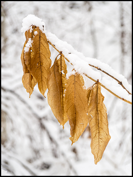Leaves of gold in a forest of white