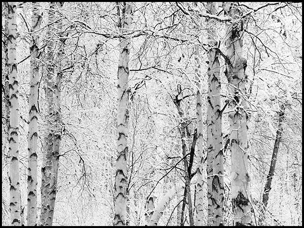 Birch trees dressed in snow