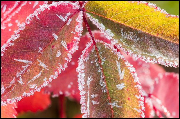 Frost on the edges of Rose leaves - Nikon D300, Nikkor 105mm f/2.8 - ©Leslie Degner