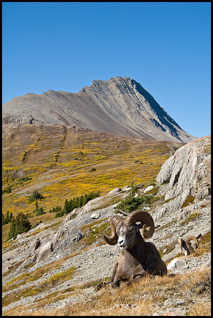 Bighorn Sheep Ram, Wilcox Pass Jasper National Park, Alberta, Canada