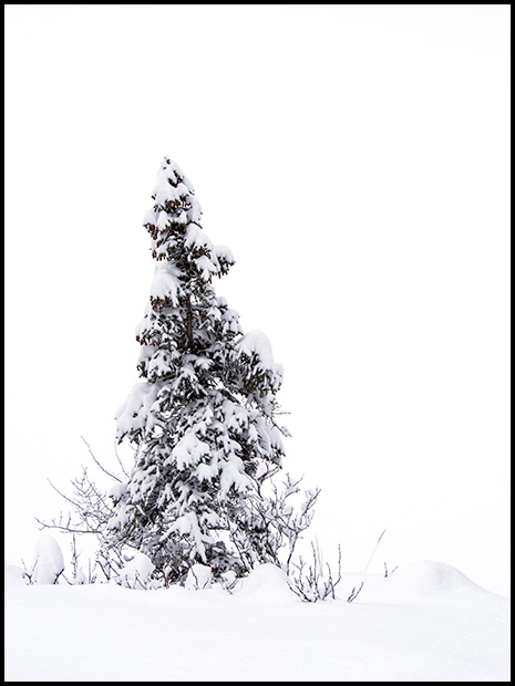 Snow covered tree, Olympus E-M5, Olympus 40-150mm f4-5.6, ©Leslie Degner