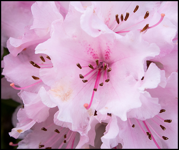 Rhododendron Blossoms, Olympus E-M5, Olympus 12-50mm f3.5-6.3, ©Leslie Degner