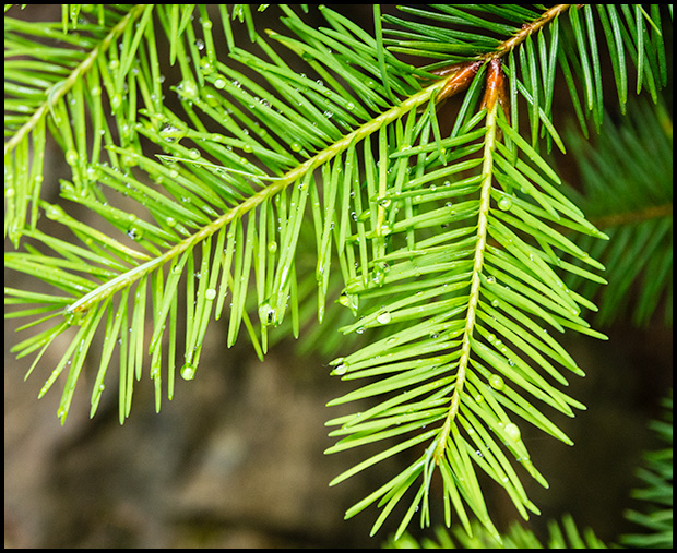 New growth on a Fir Tree, Olympus E-M5, Olympus 12-50mm f/3.5-6.3 ©Leslie Degner