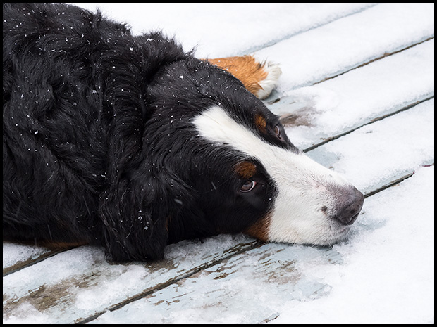 At least someone likes the snow, Olympus E-M1, Olympus 40-150mm f4-5.6, ©Leslie Degner