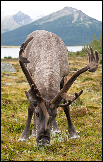 Bull Caribou grazing in Tonquin Valley, Nikon D300, Nikon 70-300mm f/4.5-5.6, ©Mark Degner