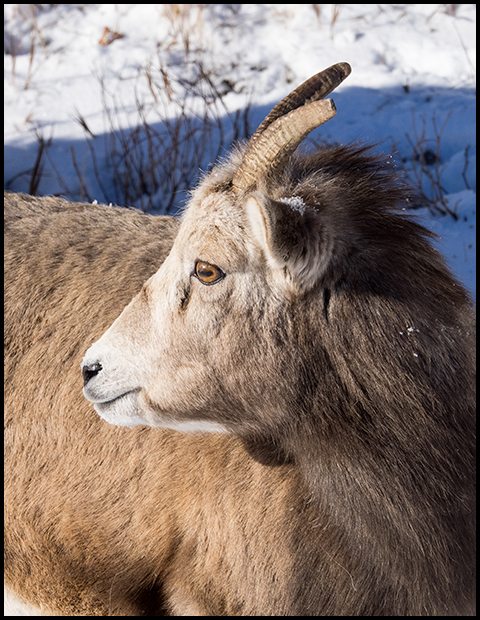 Bighorn Sheep, Yearling, Olympus E-M1, ©Leslie Degner