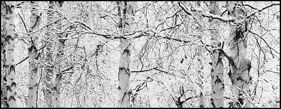 Winter Birch trees lined with fresh snow