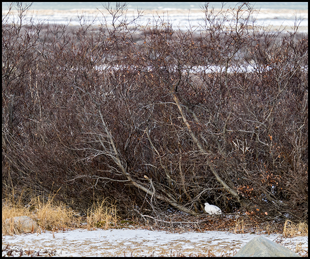 Ptarmigan at the edge of the shrubs