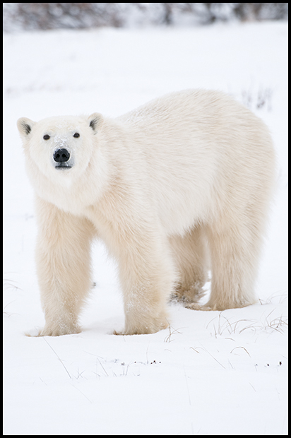 Polar Bear 1, Churchill Manitoba,