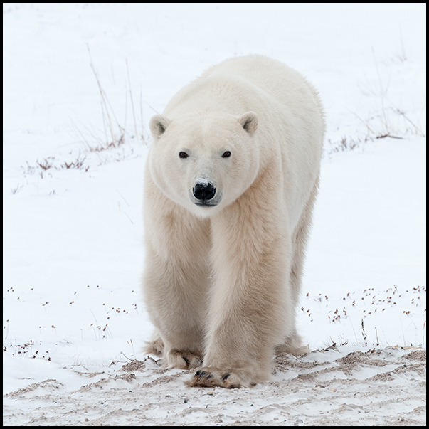 Polar Bear 2, Churchill Manitoba