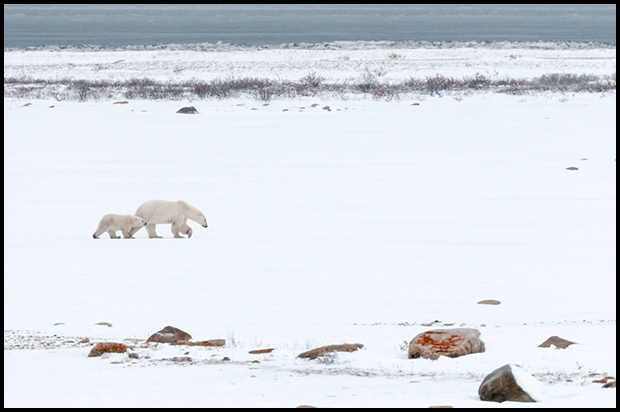 Polar Bear 3, Churchill Manitoba