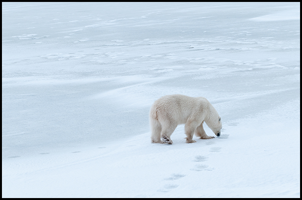 Polar Bear 4, Churchill Manitoba, Nikon D300