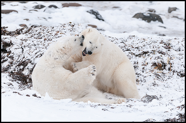 Polar Bear 5, Churchill Manitoba