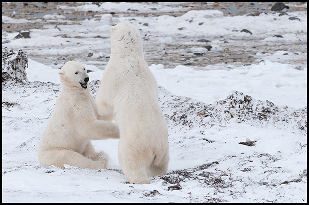 Polar Bear 6, Churchill Manitoba,
