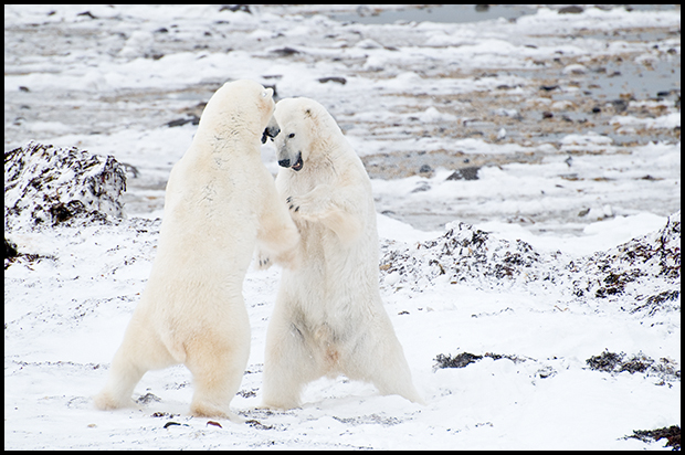 Polar Bears 7, Churchill Manitoba