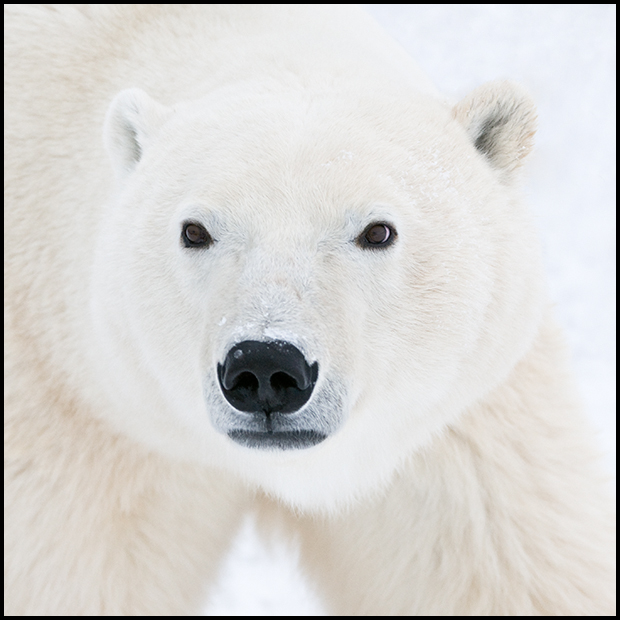 Polar Bear 8, Churchill Manitoba