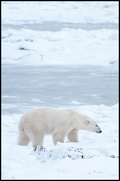Polar Bears 9, Churchill Manitoba