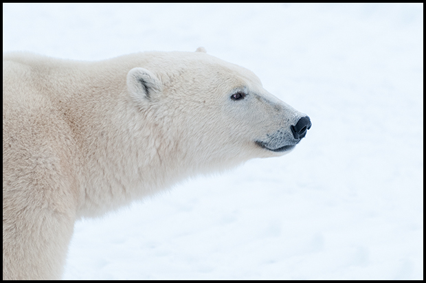 Polar Bears 10, Churchill Manitoba