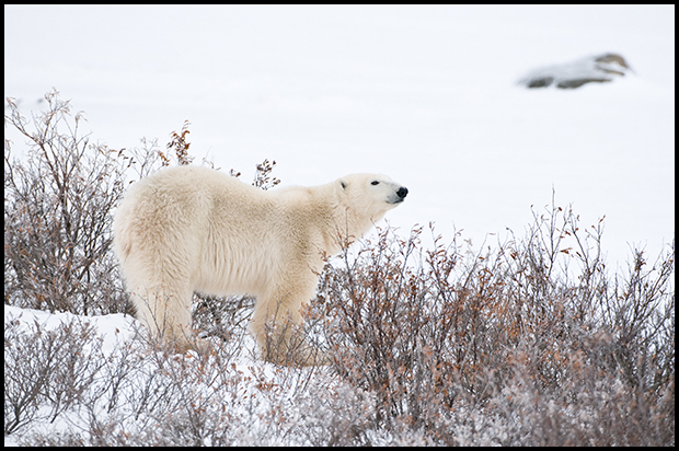 Polar Bear in Shrubs 11, Churchill, Manitoba