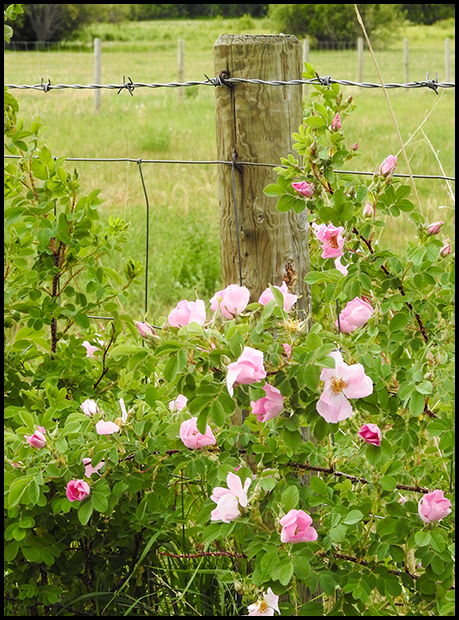 Roses at the fence, Nikon Coolpix P900