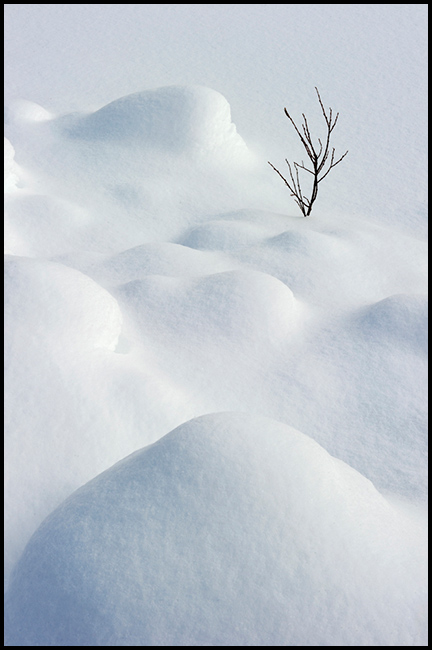 Young shrub among snow mounds, Waterfowl Lakes
