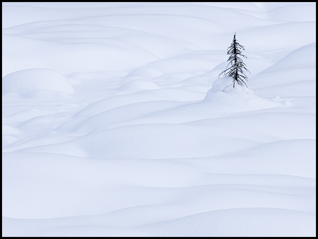 Solitary tree rises above the snow