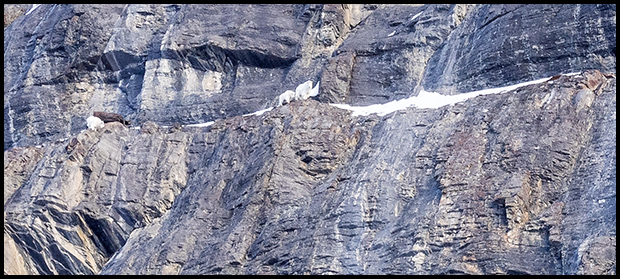 Crop view of Mountain Goats on cliff