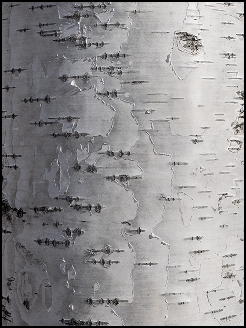 Birch bark detail