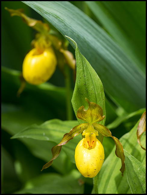 Yellow Lady's-slipper Orchid