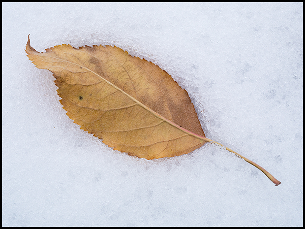 Apple leaf in the snow, Olympus PEN-F