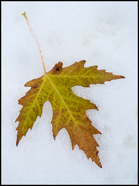 Maple Leaf on the snow, Olympus PEN-F