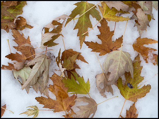 Fallen leaves on the snow, Olympus PEN-F