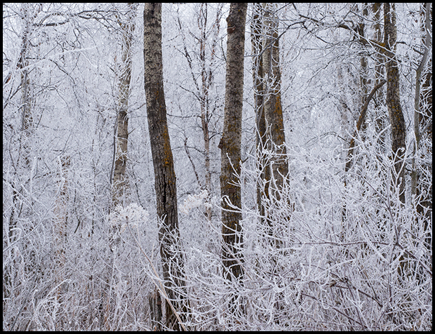 Hoar frost clings to the tree branches
