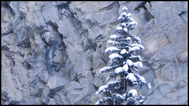 Spruce tree in canyon, ©Alan Ernst