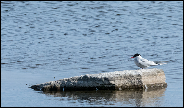 Arctic Tern at the Granary Ponds Churchill