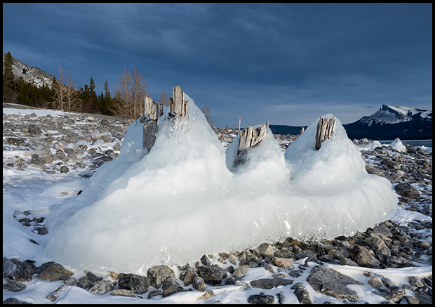 Stumps encrusted in ice