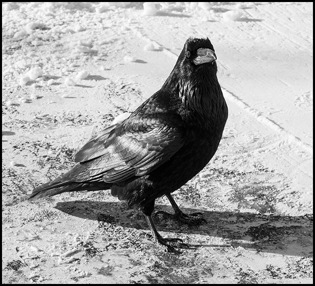 Raven in a parking lot
