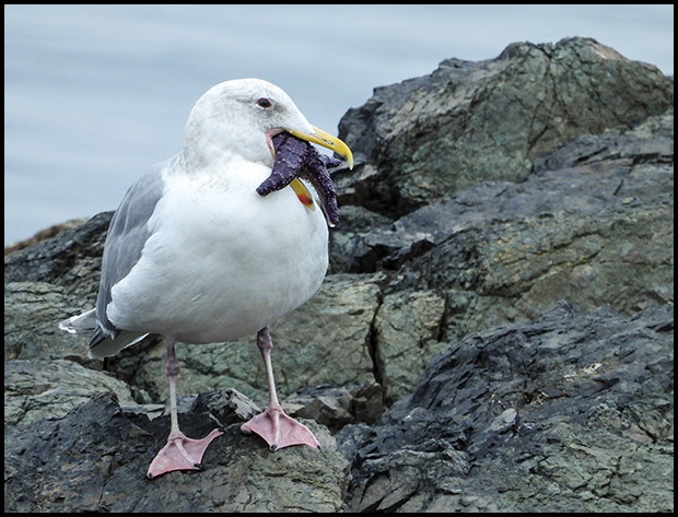 Glaucous-winged Gull, Neck Point Park, Nanaimo, B.C.,